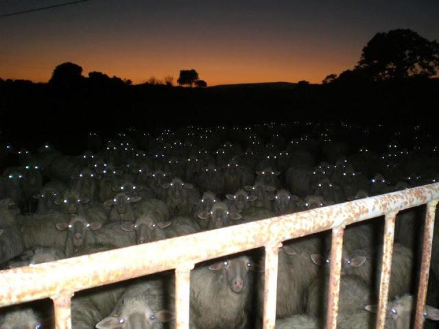 sheeple (2)