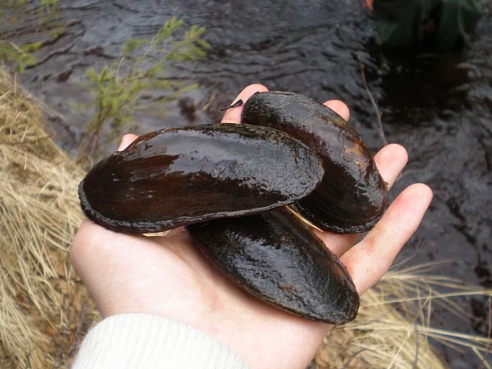 800px-Three_Mussels_Margaritifera_margaritifera_in_hand