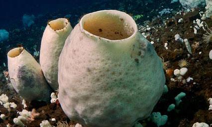 antarctic-sponges