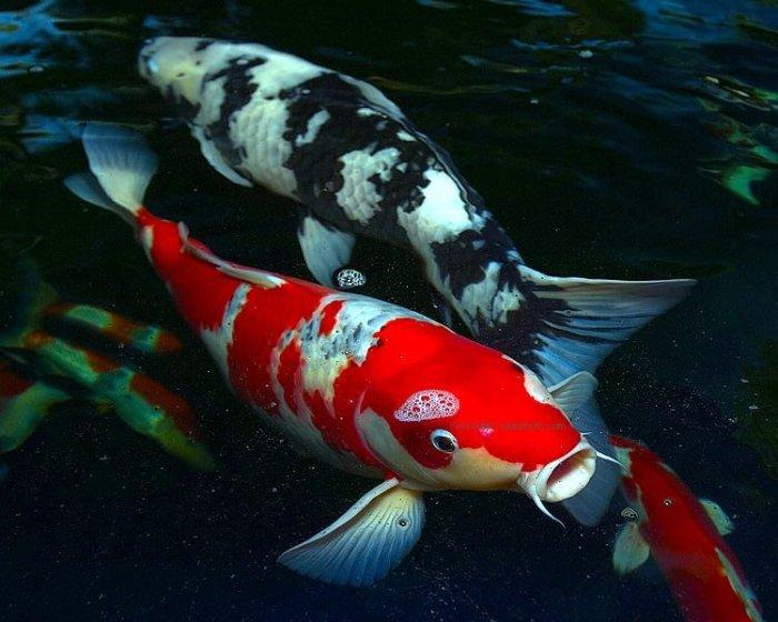 Koi Fish - Colourful Photos (23)