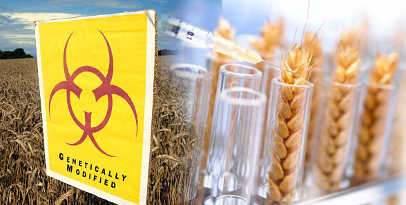 GMO-alert-Eating-GM-wheat-may-destroy-your-liver-warn-scientists